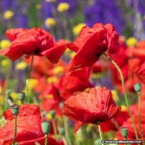 Poppy Red Mix Flowers seeds