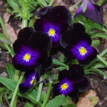 Viola mix Flowers seeds