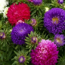 Aster mix Flowers seeds