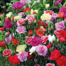 Carnation Flowers seeds
