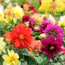 Dahlia Flowers seeds
