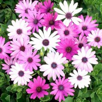 Daisy Mix Flower Seeds