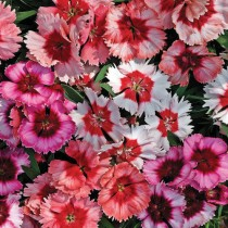 Dianthus Mix Flowers seeds