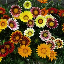 Gazania Mixed Flower Seeds