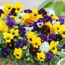 Pansy Mix Flowers Seeds