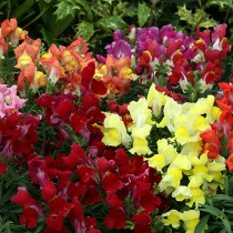 Antirrhinum Mix Flowers seeds