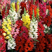 Antirrhinum Snapdragons Flowers seeds