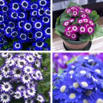Cineraria Mixed Flowers seeds