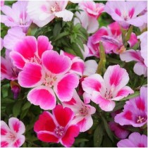 Clarkia Mix Flowers seeds