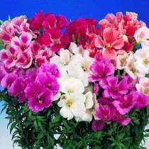 Godetia Mix flowers seeds