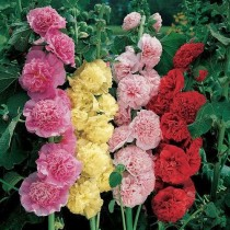 Hollyhock Mix Flowers seeds