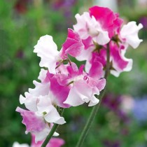Larkspur Fire Mixed Flowers seeds