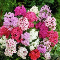 Phlox Mixed Flowers seeds