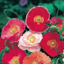 Poppy shirley Mixed Flowers seeds