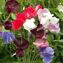 Sweet Peas Spencer Mixed Flowers seeds