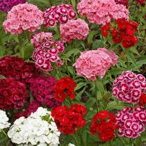 Sweet William Mixed Flowers seeds