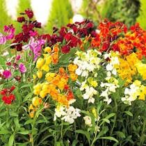 Wallflowers MIx seeds