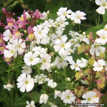 Gypsophila Mix Flowers seeds