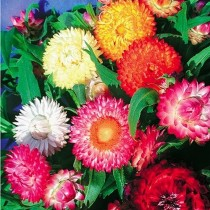Helichrysum Mixed Flowers seeds