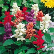 Salvia MIx Flowers seeds
