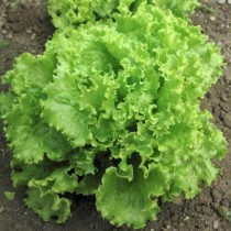 Green Lettuce seeds