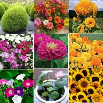Summer Flowers seeds combo