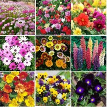 9 Winter Flowers seeds combo