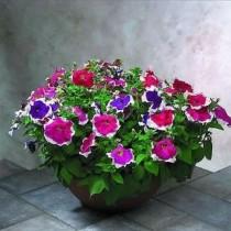 Petunia Flowers seeds
