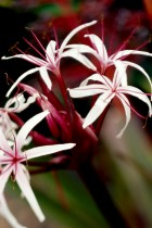 Crinum Lily (Red) - Bulbs
