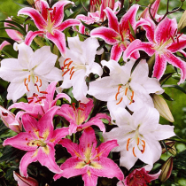 Click to expand Oriental Lilies (Mix Color) - Bulbs