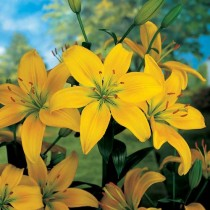 Click to expand Oriental Lily, Serrada Lily (Yellow) - Bulbs