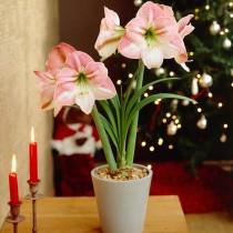 Amaryllis Lilly Double (White, Pink) - Bulbs