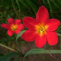 Zephyranthes Lily, Rain Lily (Red) - Bulbs