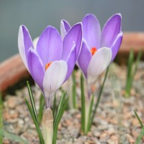 Crocus Van Guard (Blue) - Bulbs