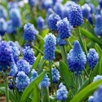Muscari, Grape Hyacinth Azureum (Blue) - Bulbs