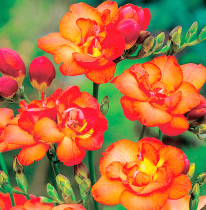 Freesia Double (Orange) - Bulbs