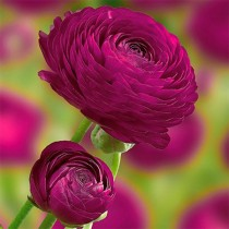 Ranunculus (Purple) - Bulbs