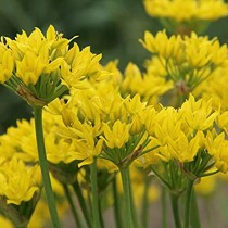 Allium Moly (Yellow) - Bulbs