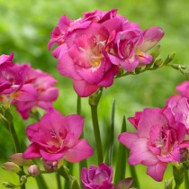 Click to expand Freesia Double (Pink) - Bulbs