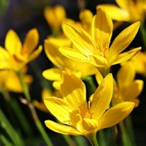 Zephyranthes Lily, Rain Lily (yellow) - bulbs 1 piece