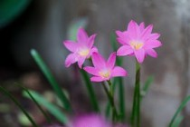 Zephyranthes Lily, Rain Lily (pink) - bulbs