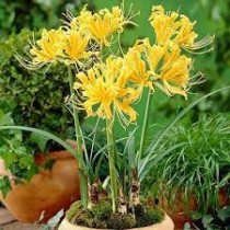 Golden Spider Lily, Lycoris Aurea (Yellow) - Bulbs