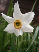 Daffodil Poeticus, Nargis (White) - Bulbs