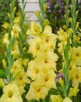 Gladiolus Nova Lux (Yellow) - Bulbs