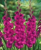 Gladiolus Plumtart (Magenta) - Bulbs
