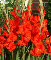 Gladiolus Victor Borge (Orange) - Bulbs