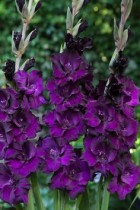 Gladiolus (Purple Plum) - Bulbs