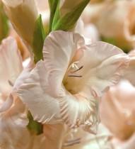 Gladiolus Pearl Priscilla (Creamy White) - Bulbs