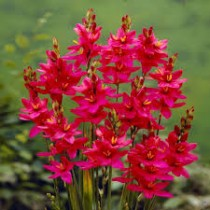 Ixia Venus (Red) - Bulbs