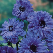 Anemone (Blue) - Bulbs